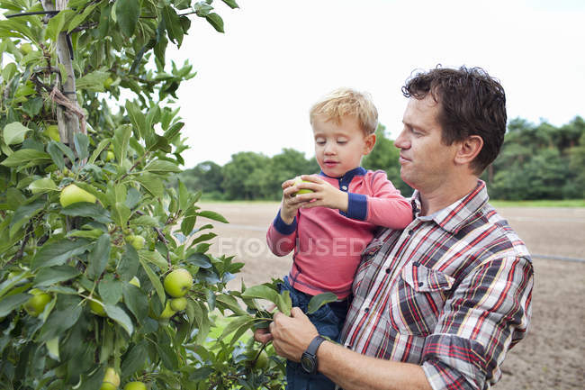Farmer and son picking apples from tree in orchard — Stock Photo