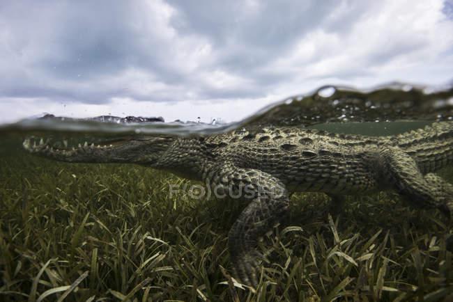 Amerikanisches Krokodil in den Untiefen des Chinchorro Atolls, Mexiko — Stockfoto