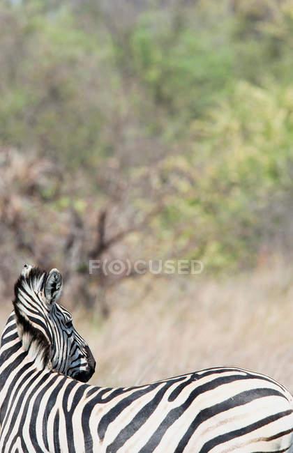 Зебра в Дельта Окаванго — стоковое фото