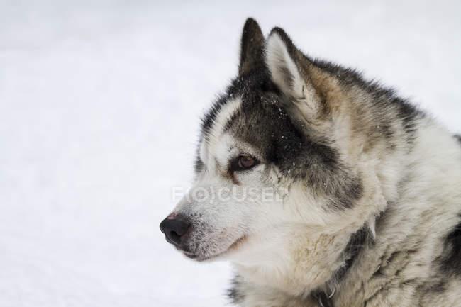 Coup de tête de chien husky dans la neige — Photo de stock