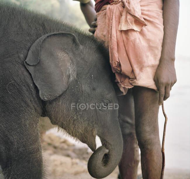 Детеныш индийского слона с кармером, Окаут, Керала, Индия — стоковое фото