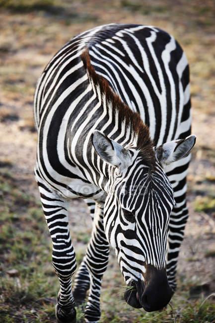 Зебра на ходу в Масаї Мара, Narok, Кенії, Африка — стокове фото