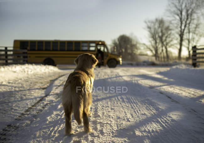 Golden retriever guardare ragazza prendere scuolabus da pista innevata, Ontario, Canada — Foto stock