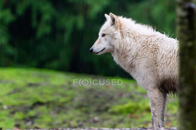 Серый волк, Сиэтл, Вашингтон, США — стоковое фото