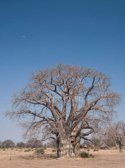 Large baobab tree on dry field under blue sky — Stock Photo