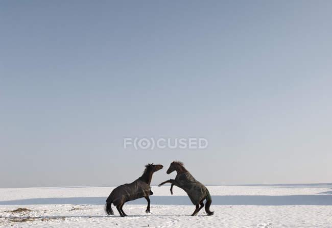 Due cavalli che crescono — Foto stock