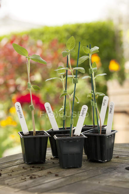 Green potted sunflower plants on garden table — Stock Photo