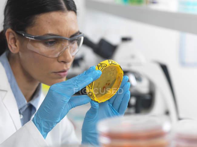 Ученый-женщина просмотра культуры, растущей в чашке Петри с биоопасности ленты в микробиологии лаборатории — стоковое фото