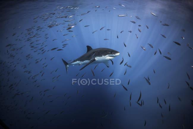 Grand requin blanc nage avec des bancs de poissons — Photo de stock