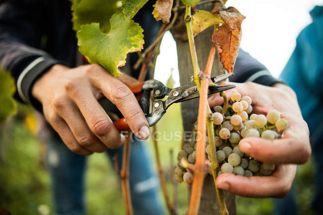 Male hands cutting grapes from vine in vineyard — Stock Photo
