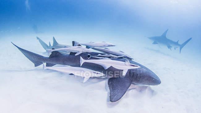 Requin nourrice sous-segment rémoras avec grand requin-marteau en arrière-plan — Photo de stock