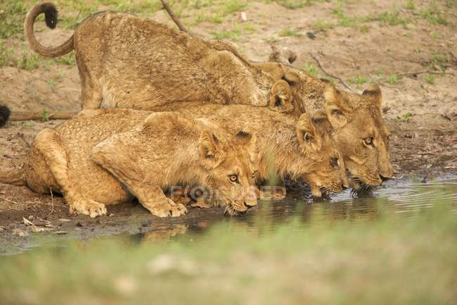 Lioness and young cubs drinking at watering hole — Stock Photo