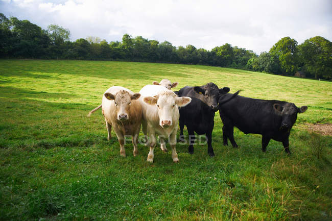 Cows walking at field — Stock Photo