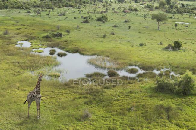 Vista aérea da girafa, o Delta do Okavango, Parque Nacional de Chobe, Botswana, África — Fotografia de Stock