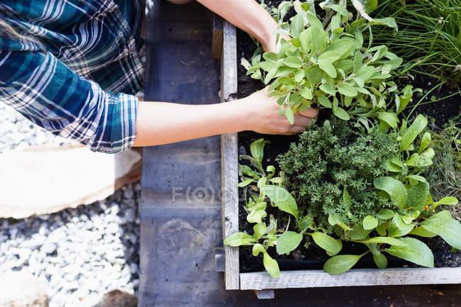 Женщина, посадка травы в Херб сад, высокий угол — стоковое фото