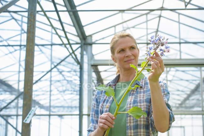 Рабочий, проверяющий цветы огурца в теплице на травяной ферме — стоковое фото