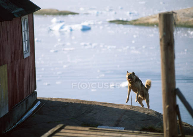 Husky chien qui aboie, Disko Bay, Groenland — Photo de stock