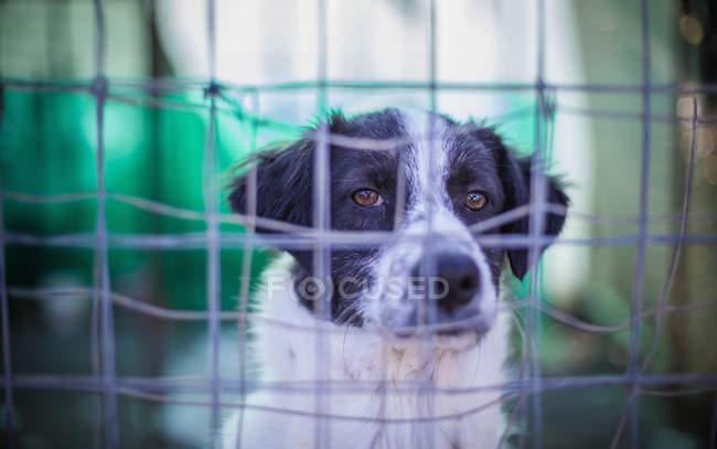Бдительная собака за проволочным забором, выстрел крупным планом — стоковое фото