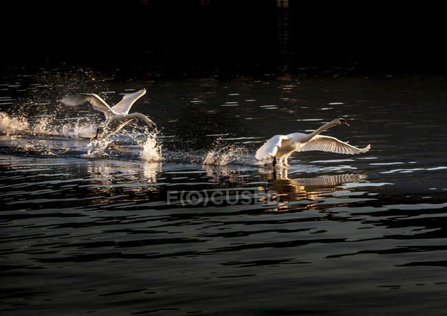 Cisnes volando, Lago Mayor, Piamonte, Lombardía, Italia - foto de stock
