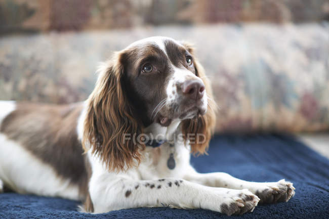 Springer spaniel dog lying on sofa — Stock Photo
