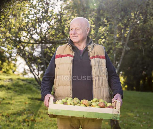 Senior trägt Kiste mit Äpfeln — Stockfoto