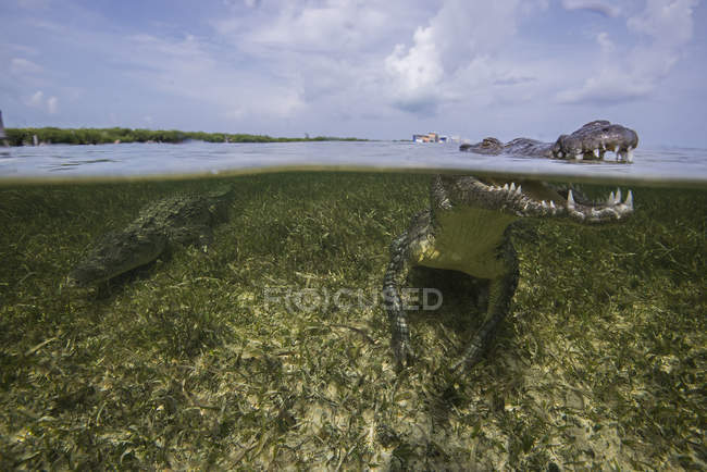 American crocodiles or crocodylus acutus in the shallow of Chinchorro Atoll, Mexico — Stock Photo
