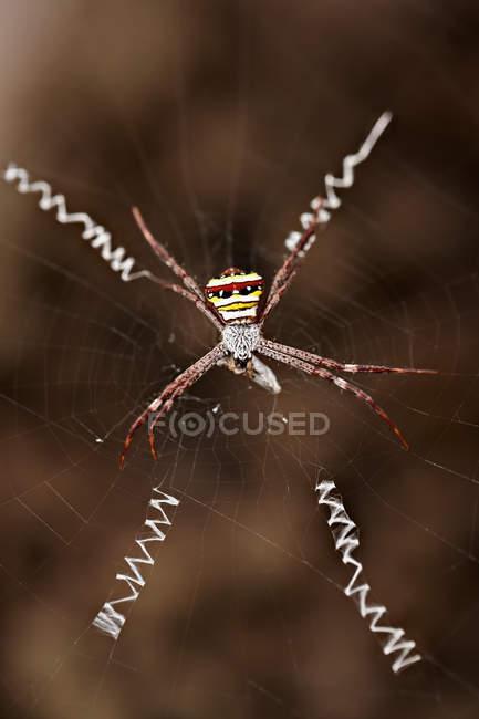 Araignée de guêpe sur le web avec la proie — Photo de stock