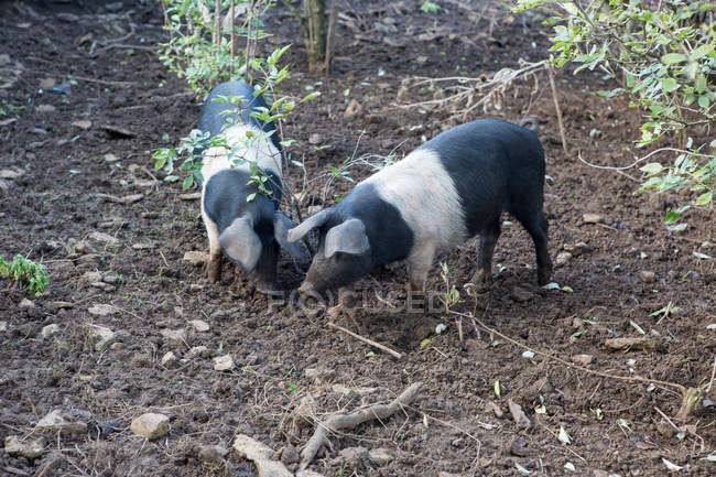 Two pigs snuffling in dirt at daytime — Stock Photo