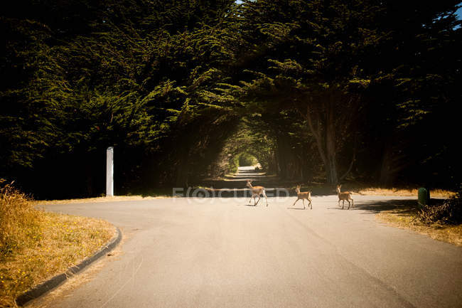 Deer crossing road — Stock Photo