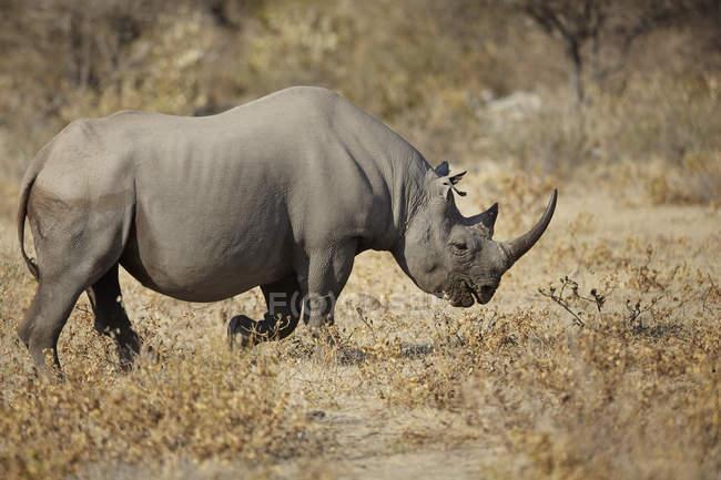 Side view of rhinoceros in arid plain — Stock Photo