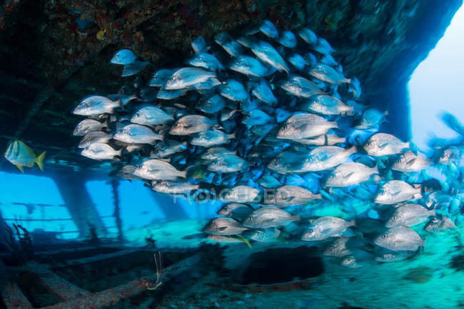 Escuela de gruñidos por naufragio, Cancún, México - foto de stock