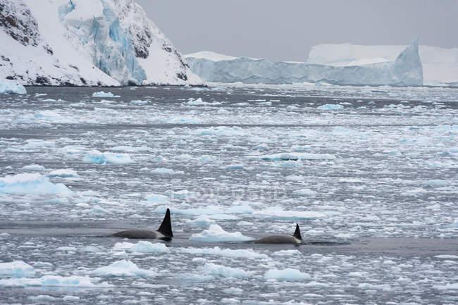 Vista frontal de baleias nadando no canal lemaire na antártica — Fotografia de Stock