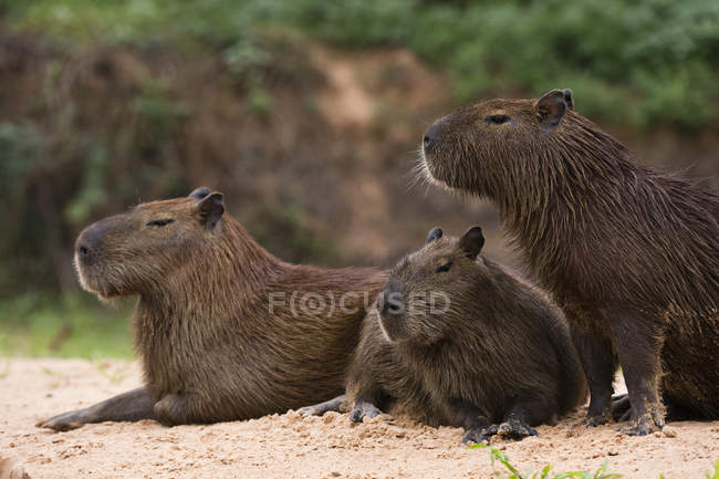 Cute capybaras lying on sandy riverbank — Stock Photo
