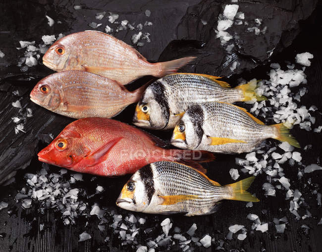 Arrangement of raw fresh fish and ice on dark slate, red snapper — Stock Photo