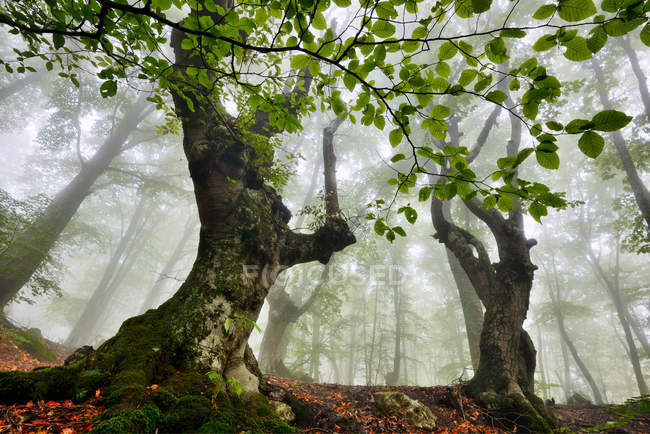 Low angle view of misty forest, Crimea, Ukraine — Stock Photo