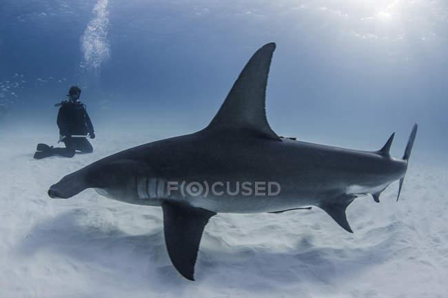 Plongeur à côté du grand requin, vue sous l'eau — Photo de stock
