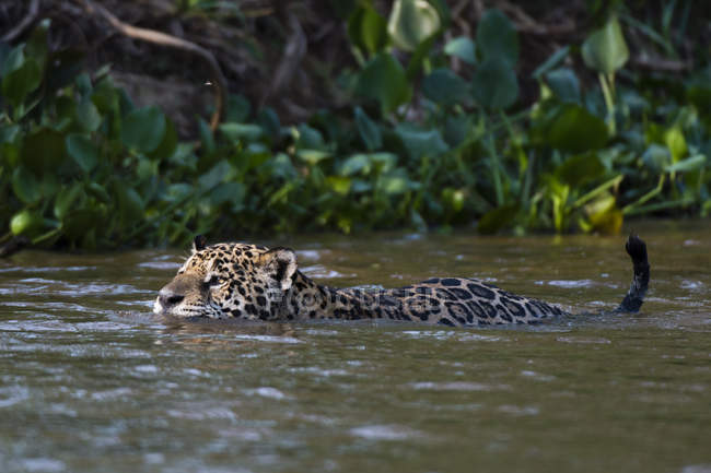 Jaguar swimming in cuiaba river, brazil — Stock Photo