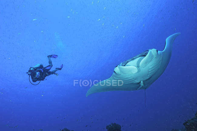 Scuba diver and oceanic manta ray (manta birostris), Cancun, Mexico — Stock Photo