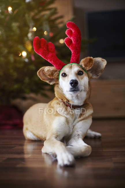 Retrato do cão a usar rena ouvidos em casa do assoalho — Fotografia de Stock