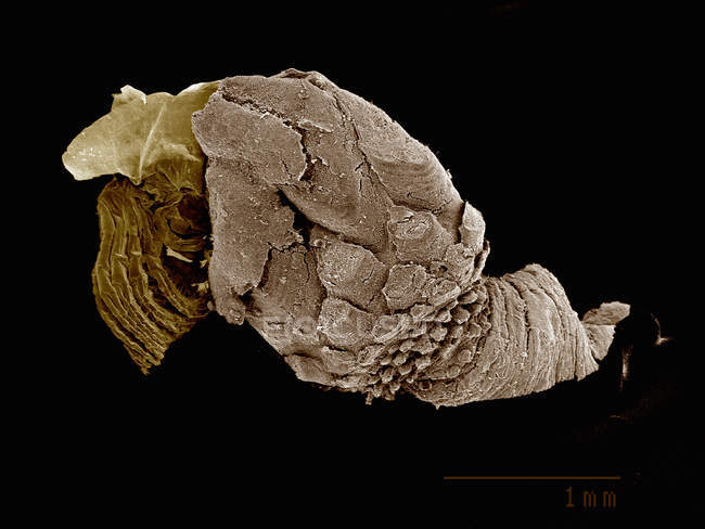 Scanning electron micrograph of gooseneck barnacle pedunculata: — Stock Photo