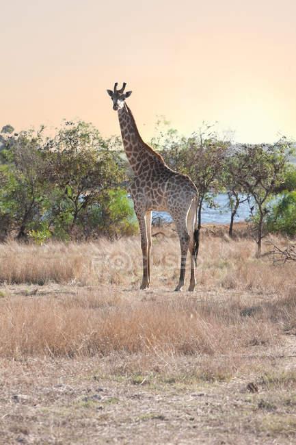 Дикі Жираф на сафарі — стокове фото