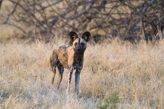 Perro salvaje africano en el Parque Nacional de chobe, Botswana - foto de stock