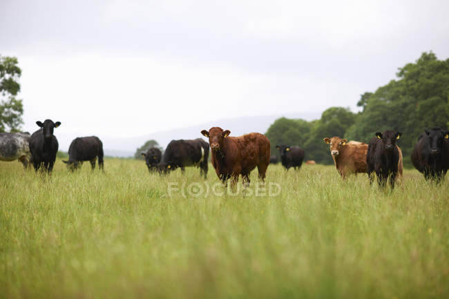 Herd of cows grazing in field at daytime — Stock Photo