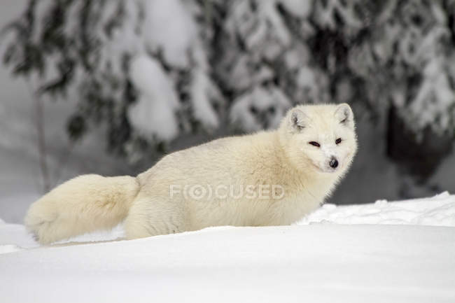 Arctic Wolf or Canis lupus arctos, also called snow wolf or white wolf, a subspecies of the gray wolf, Lapland, Sweden — Stock Photo