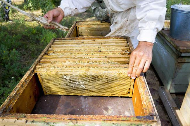 Section médiane de mâle apiculteur qui tend le rucher et nid d'abeille à l'aide de la plume — Photo de stock