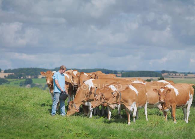 Agricultor com vacas Guernsey no campo — Fotografia de Stock