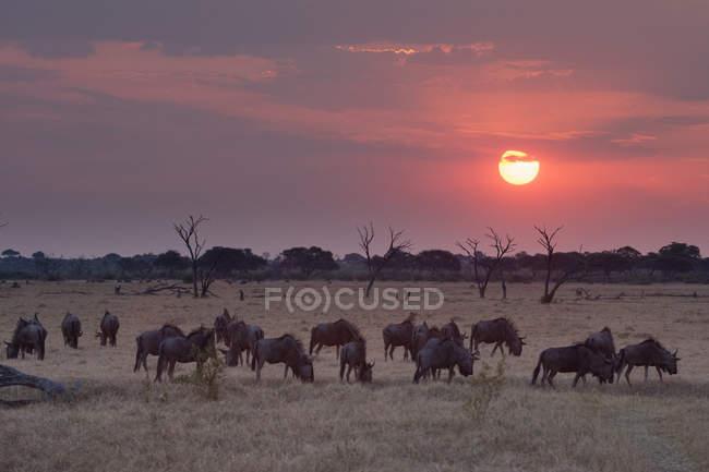 Herd of wildebeests grazing during sunset at chobe national park, botswana — Stock Photo