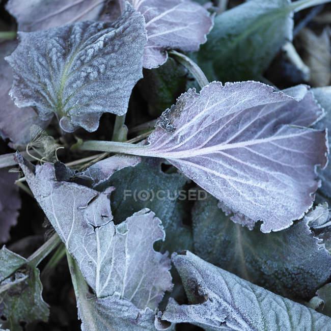 Vista superiore del gelo su foglie di viola — Foto stock