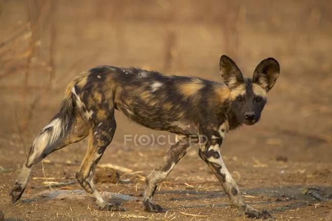 Дикий пес или Ликаон, смотрящий в камеру в дикой природе, Национальный парк
