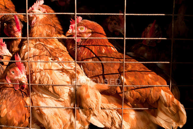 Close-up view of beautiful brown hens in cage — Stock Photo